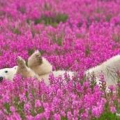 加拿大摄影师拍下北极熊欢乐的打滚时光,真的不是合成照哦