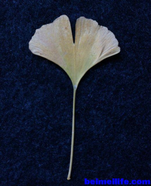 ginko-leaf.jpg