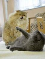 主人以为猫咪剪了毛会自卑,没想到啊,打起架来火力全开!