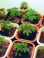 租客贩卖大麻如何解?
