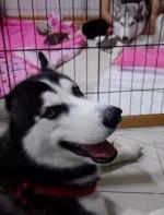 哈士奇第一次当爹非常开心,可是见到孩子后……整只狗都不好了! ...