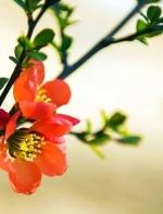 【乡愁系列 名家散文】:红孩《海棠花儿自己开》朗诵  乔峰 ...