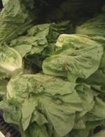罗马生菜在北美导致两人死亡,吃的时候要小心