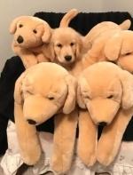 小金毛躲在娃娃堆中,网友都懵了:这难道不是5只公仔么?