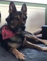 被连捅2刀的警犬奇迹恢复后,英国为它修改了法律...