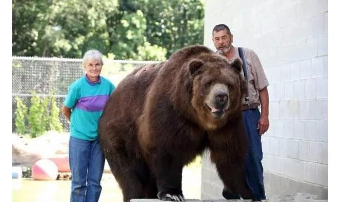 真的是熊孩子!美帝一对夫妇养了11只棕熊,有如至亲