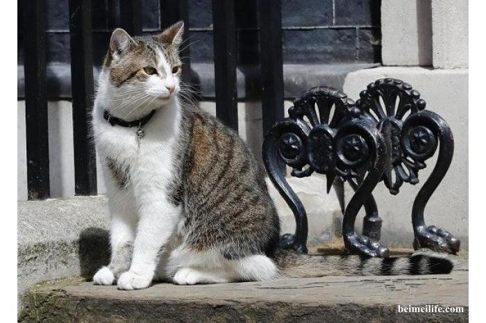 """外交喵星人:英国首相府""""御猫""""遭遇狂热美国粉丝"""
