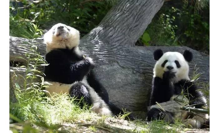 当两只海归熊猫回到中国,只听得懂英语还不吃中餐…这就real尴尬了..... ... ...