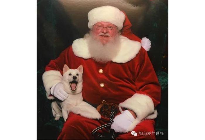 狗狗和最爱的圣诞老人合影,开心的笑脸萌化所有网友。