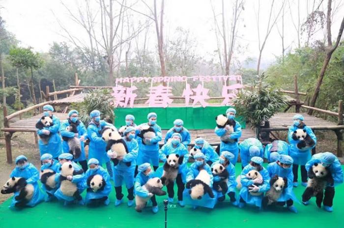 """腊月二十三 成都熊猫基地23只""""熊猫天团""""集体大拜年!"""